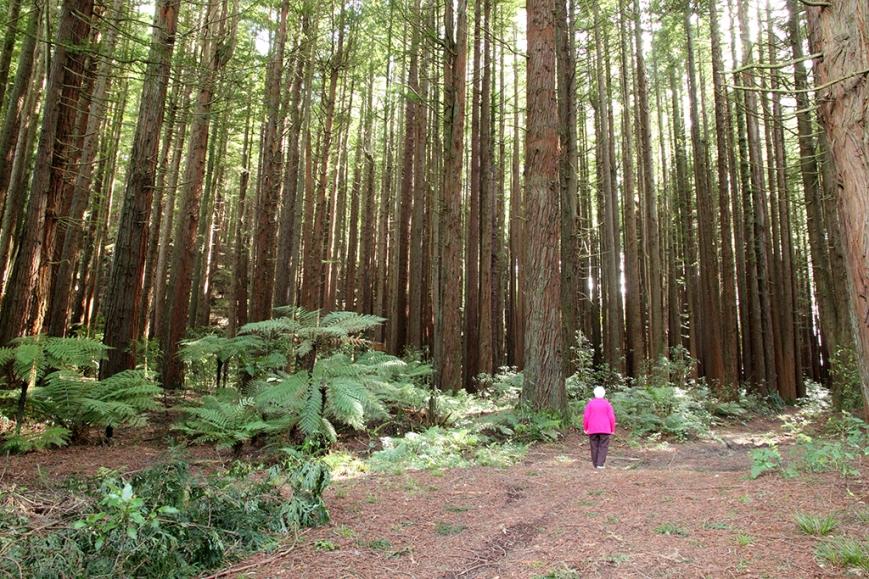 Redwoods, Kinleith Forest Tokoroa