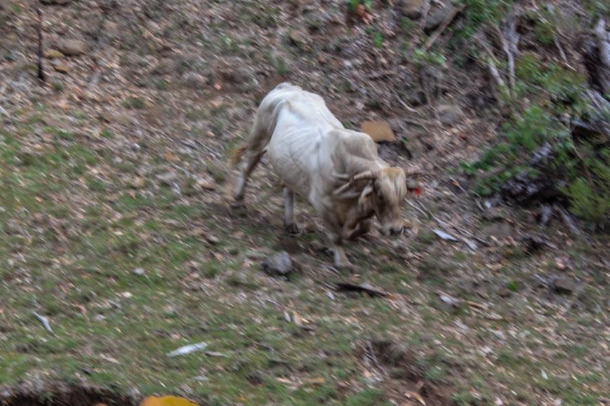 IMG_4388 Irate bull