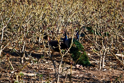 Peafowl, Daltymple Van park
