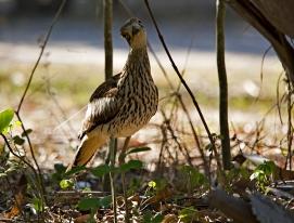 Bush-stone Curlew