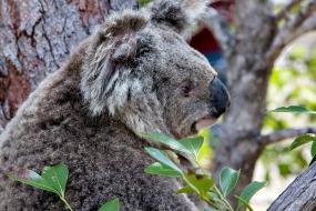 Koala Mum