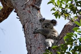 Koala Bub
