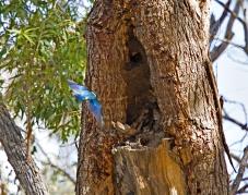 Sacred Kingfisher at Judds Lagoon, free camping