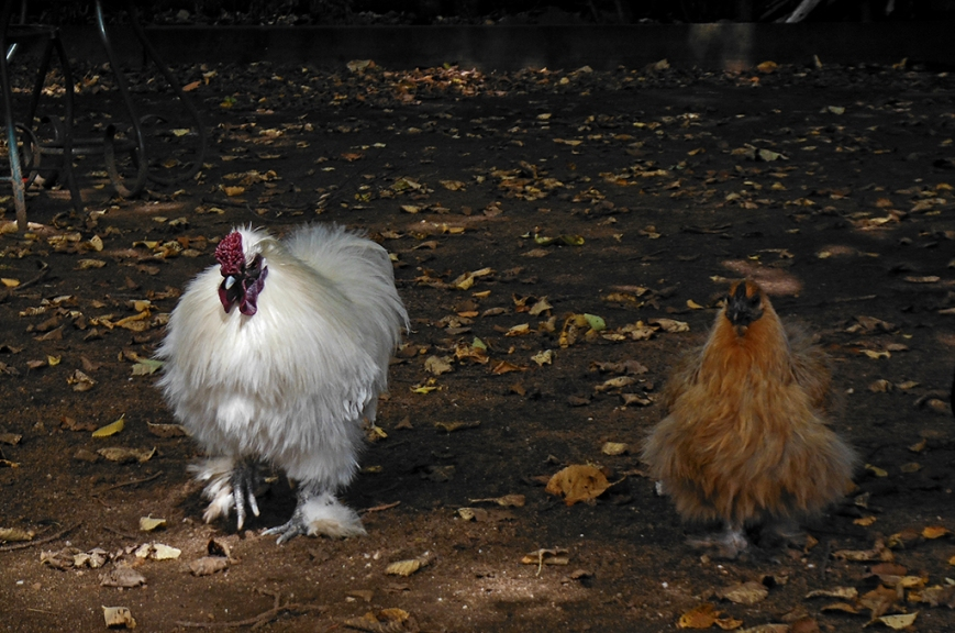 Free range chooks at pub, white one was cranky with the brown one.