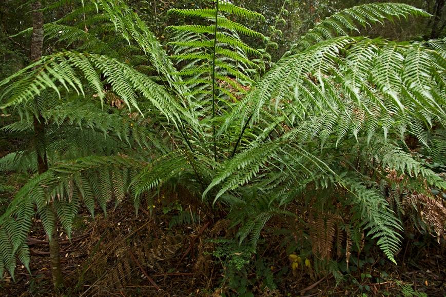 IMG_4673Punga(TreeFern)