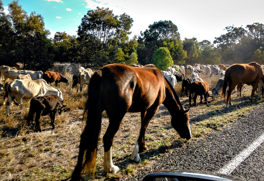 DSCF5223droving cattle