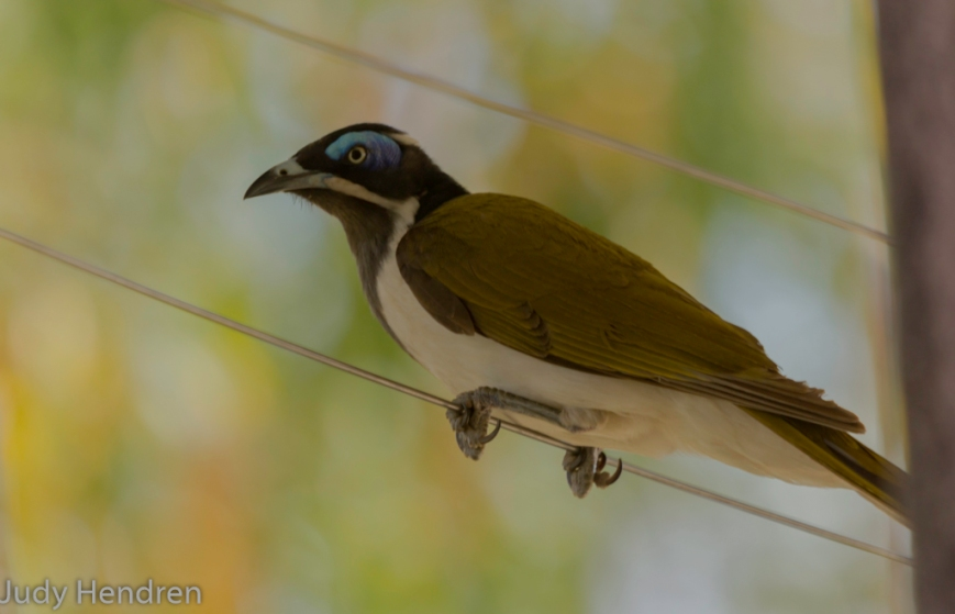 Bluefaced Honeyeater-6841