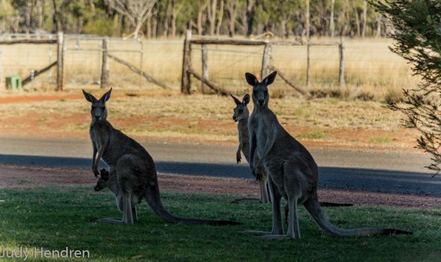 Kangaroo's-6795