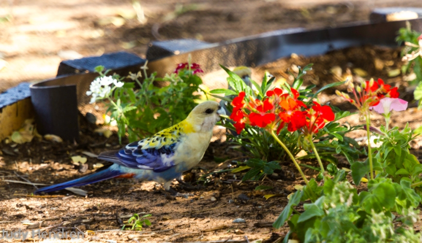 Pair of Palefaced Rosella's-6761